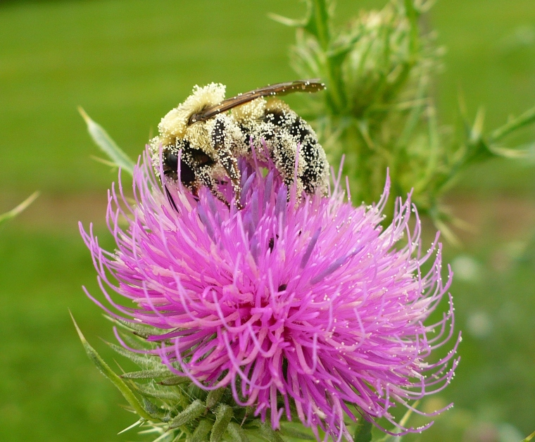 Bumblebee absolutely covered in thistle pollen.