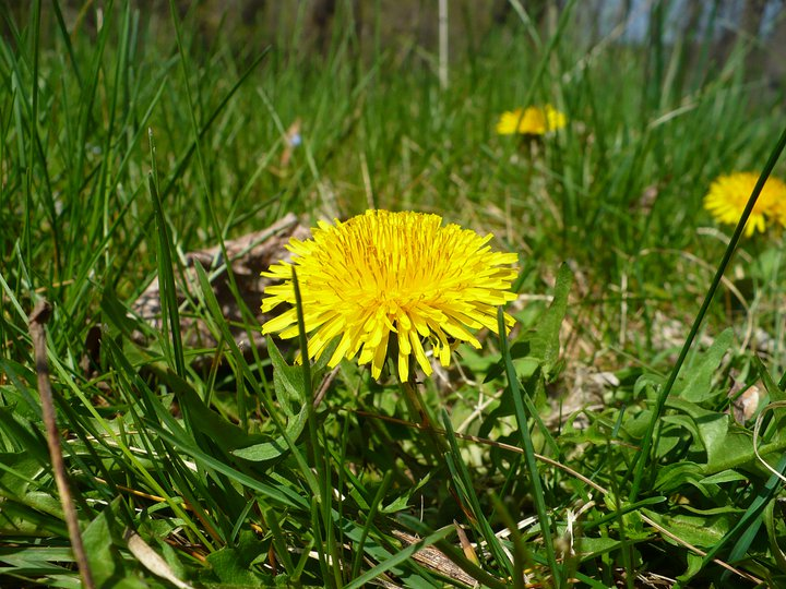 Similarly, dandelions (Taraxacum officionale) have been flowering for a couple of weeks, but just started in the orchards