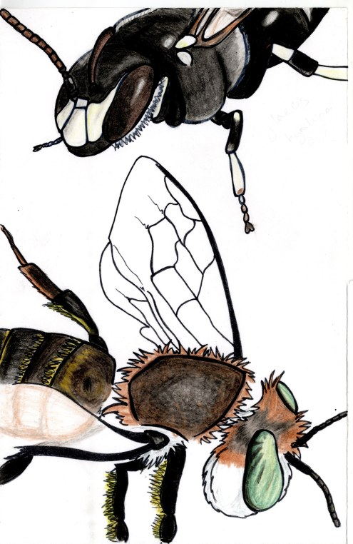 Hylaeus and Lithurgus chrysurus