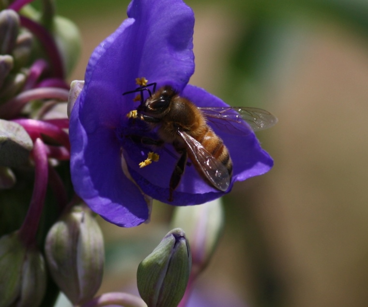 Honeybee on Ohio Spiderwort