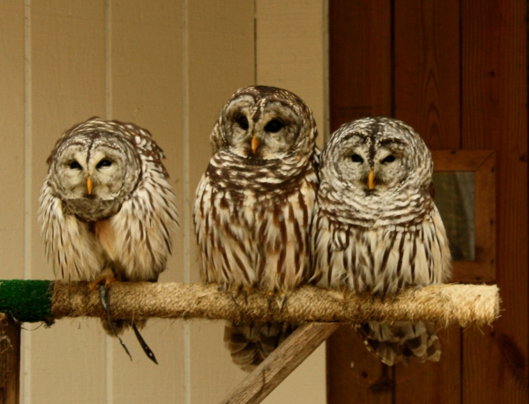 Another SOIMF photo, Barred Owls