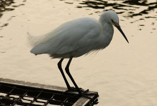 This is a beautiful little egret (Ardea garzetta) in breeding plumage.