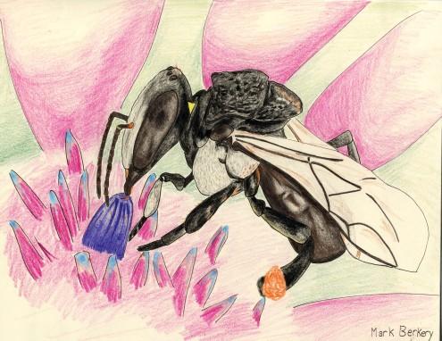 Native Sugarbag bee (Trigona carbonaria)