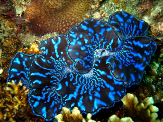 Giant clam with Symbiodinium, photo courtesy of projectnoah.com