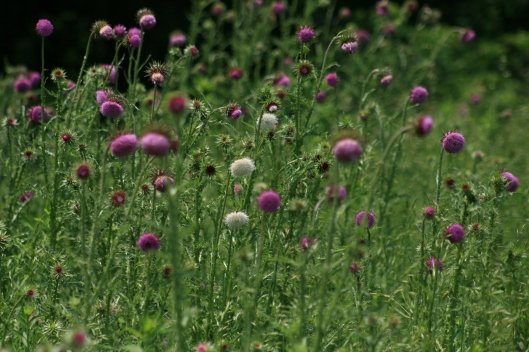 White phenotypes in low frequencies in a thistle population, photo copyright Britta Teller
