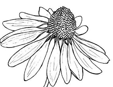 Simple insect and flower line drawings standingoutinmyfield black eyed susan line drawing mightylinksfo Gallery