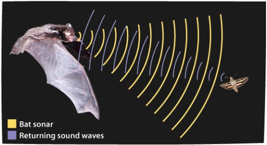 Bat echolocation, courtesy of askabiologist.asu.edu