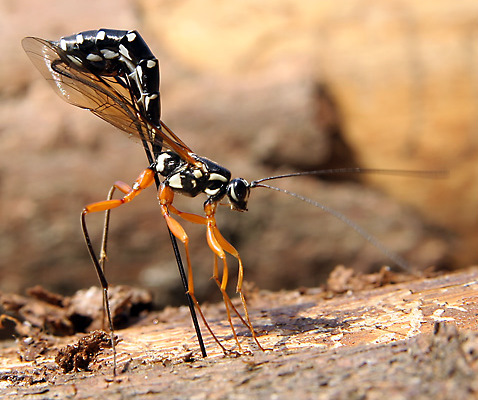 The Giant Ichneumon lays its eggs on the eggs of the wood wasp.  Courtesy of Wikipedia.org