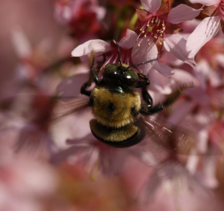 A Carpenter Bee (Xylocopa virginica)!