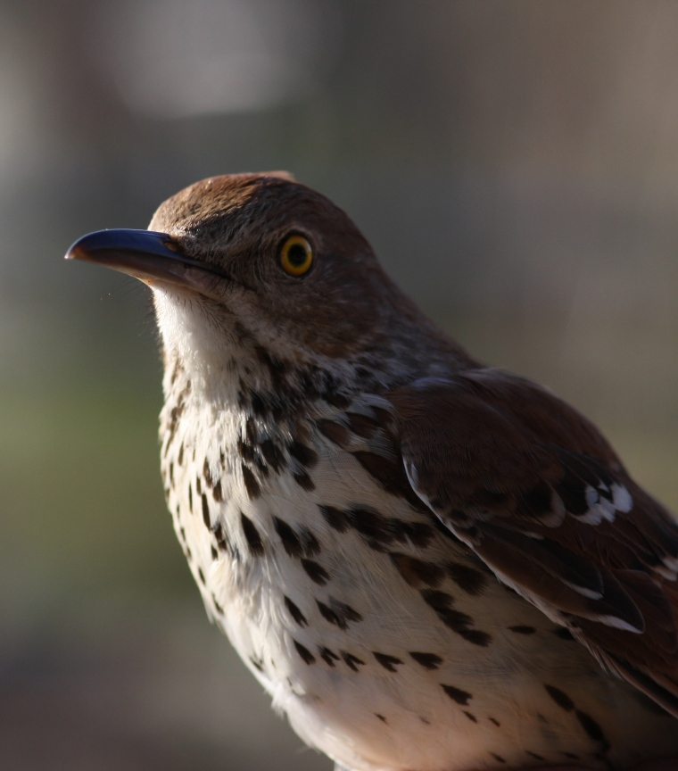 Another SOIMF classic (haha), Brown Thrasher