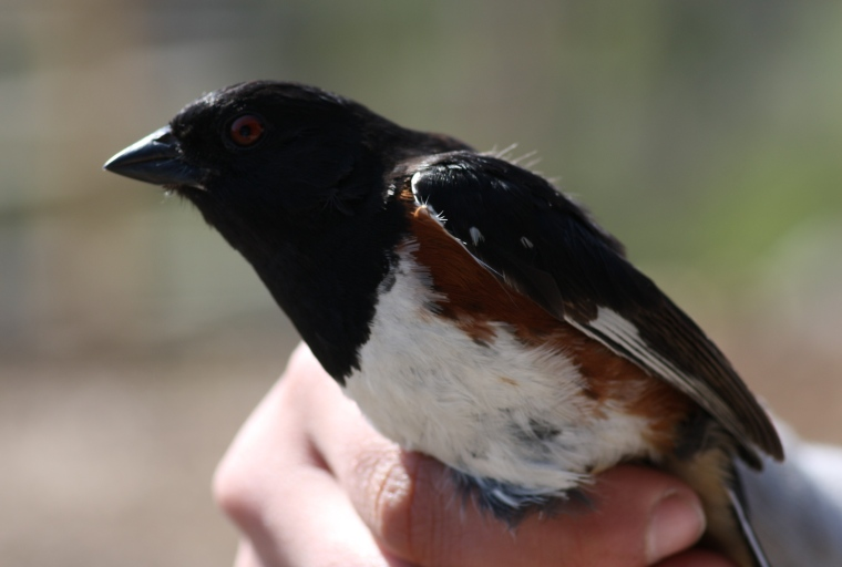 Another SOIMF photo, Eastern Towhee