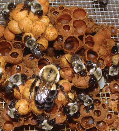 Bumblebee hive, courtesy of Elaine Evans, University of Minnesota Extension at scienceblogs.com