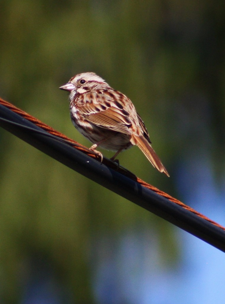 Another SOIMF photo, Song Sparrow