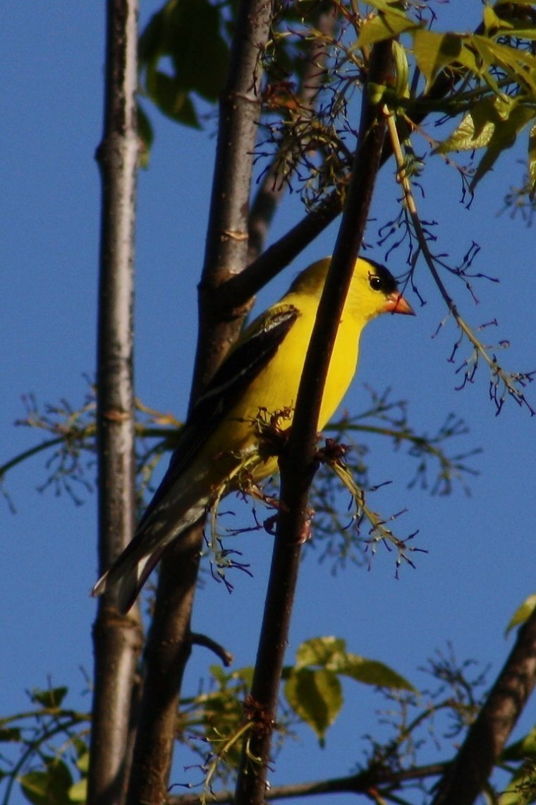 Another SOIMF photo, American Goldfinch