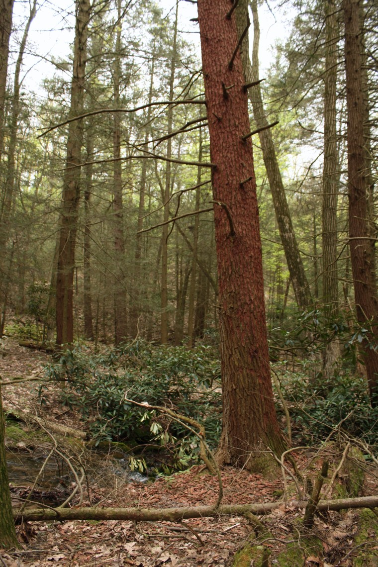 There are plenty of trees affected by the hemlock beetle I mentioned in an earlier post.