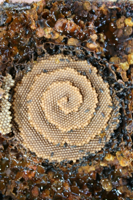 The spiral combs of the Australian stingless bees, with bumblebee like honey pots,