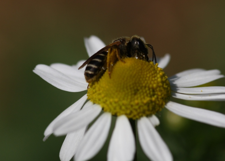 This is Halictus ligatus (a female)