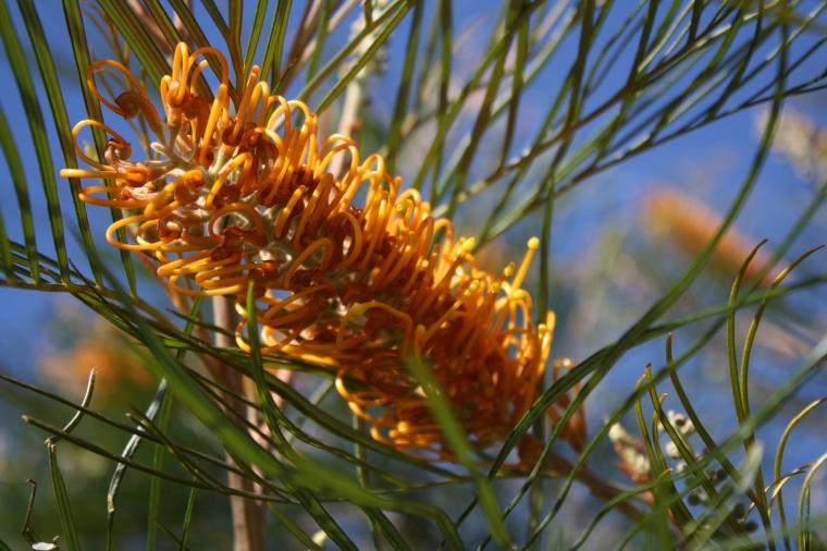 Silky Oak (Grevillea sp.)