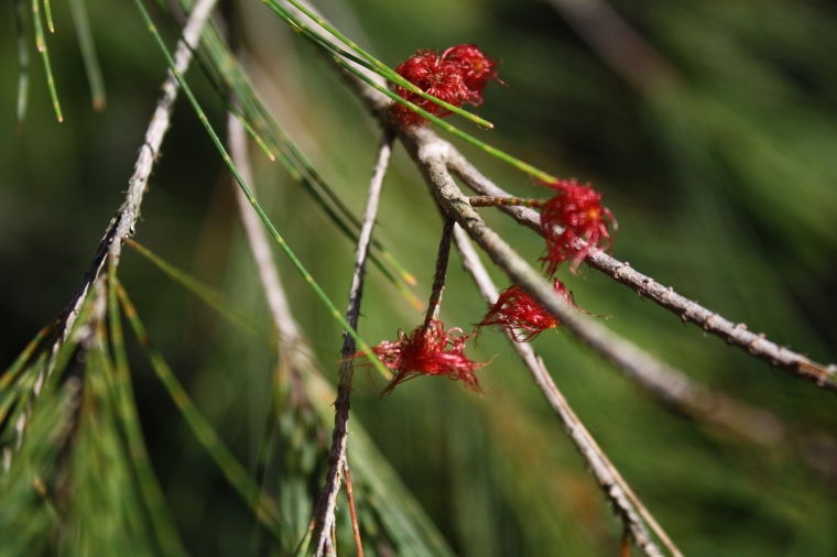Casuarinas are actually angiosperms, even though they look like gymnosperms!