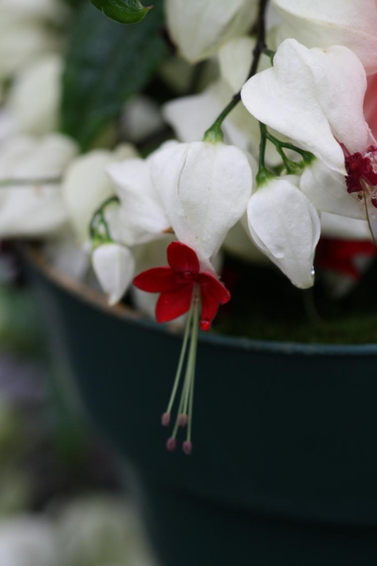 Clerodendron thompsoniaea