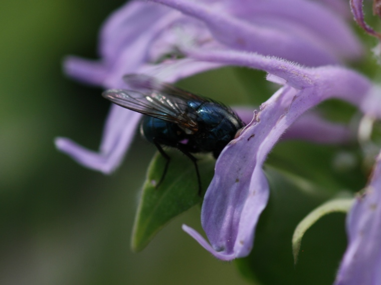Aw, don't be shy blue bottle (Calliphoridae), I didn't mean what I said!