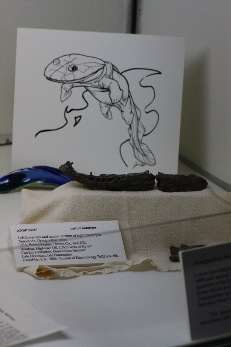 Before Tiktaalik was found, this was the oldest known amphibian fossil.