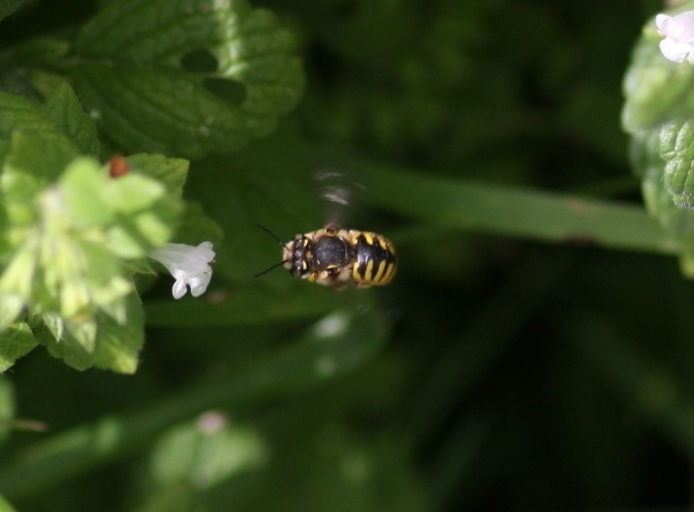 A wool carder bee (Anthidium manicatum) zips by