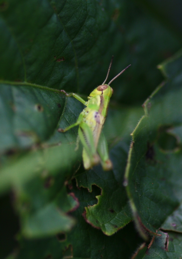 A tiny green grasshopper sits on a leaf