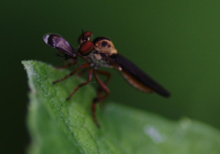 Holcocephala sp.