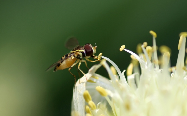 The Syrphid flies (or hover flies) are flower visitors as adults, but their young are parasites on other insects.