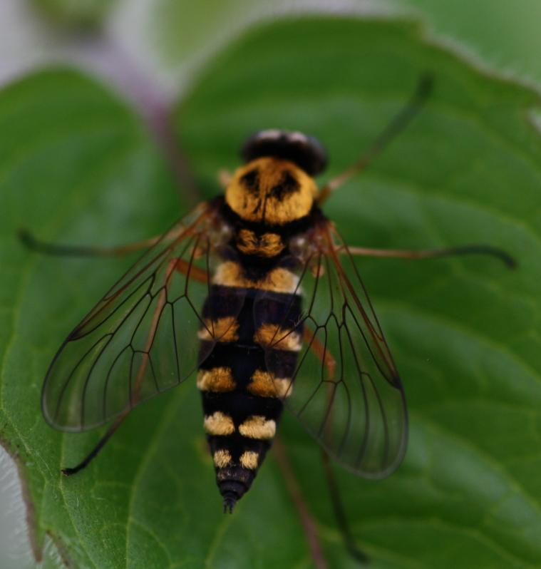 The Rhagionidae (snipe flies) are predators and blood drinkers.