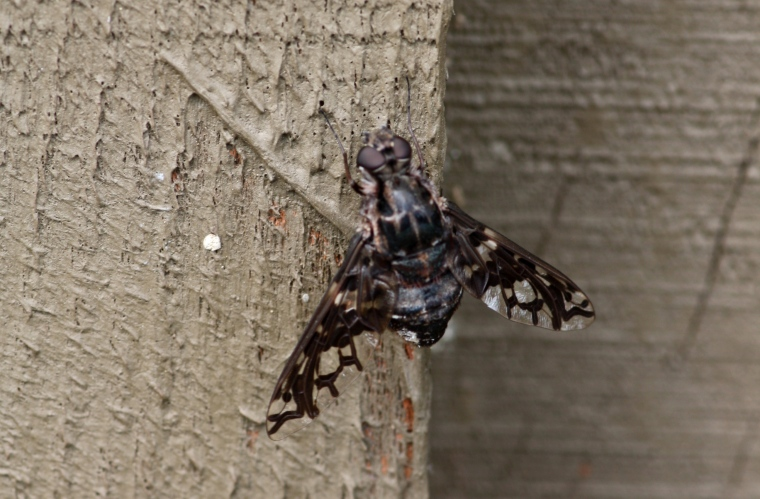Tabanids (horse flies) like this guy are nothing but trouble.