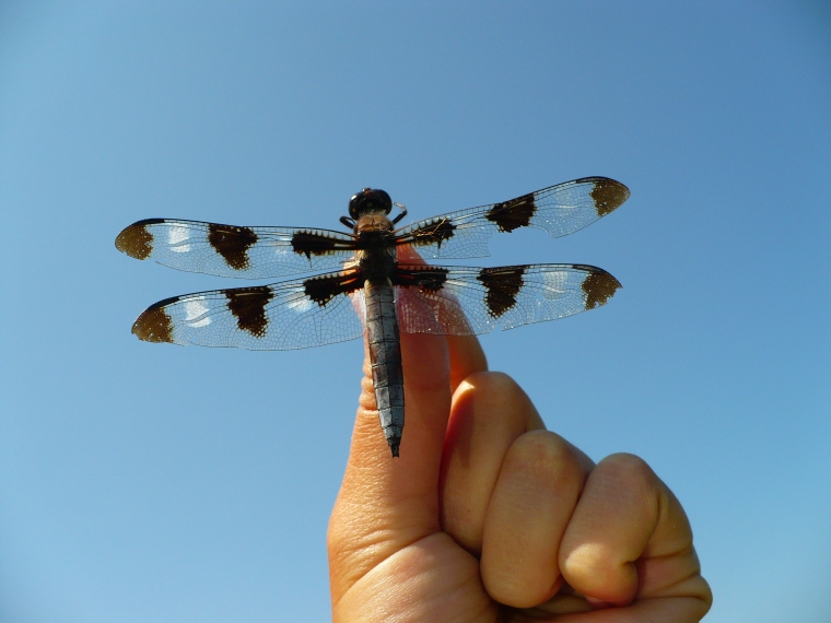 I found this twelve-spotted skimmer (Libellula pulchella), dead but perfect.