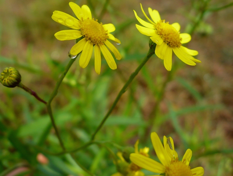 Fireweed (Senecio madagascariensis) invasive