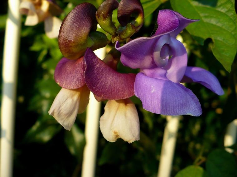 Some ornamental pea