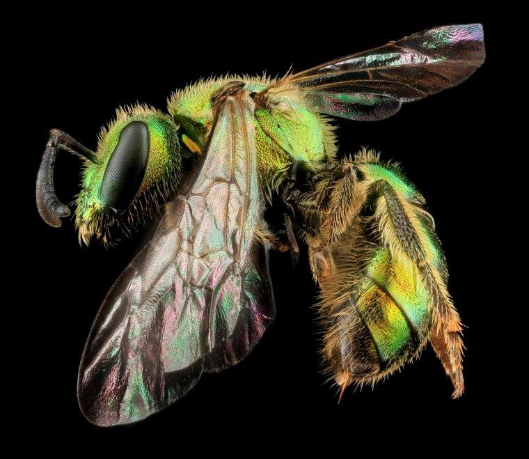 Sam Droege's bee