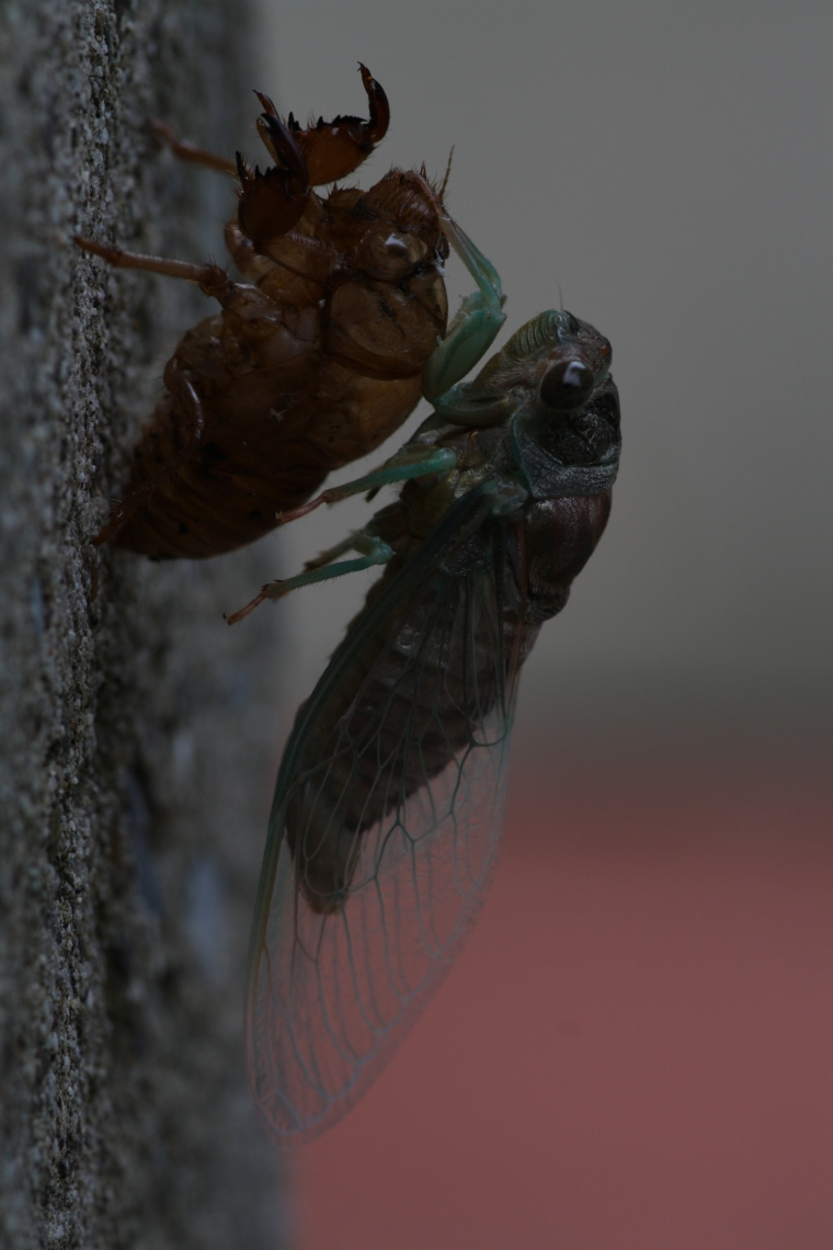 The dog day cicada (Tibicen sp.), just post emergence.