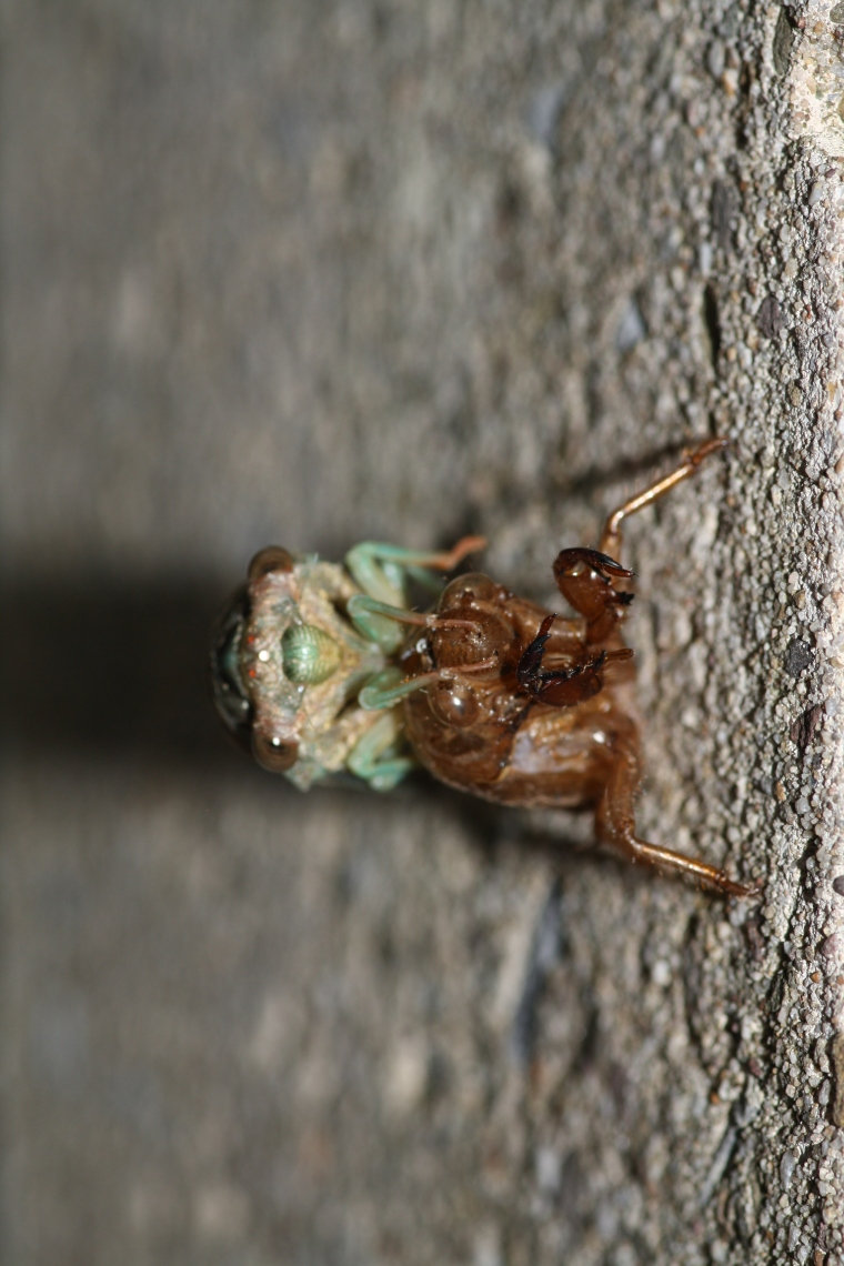 The young cicadas drink sap from tree roots in the grounds, while adults drink sap from branches.