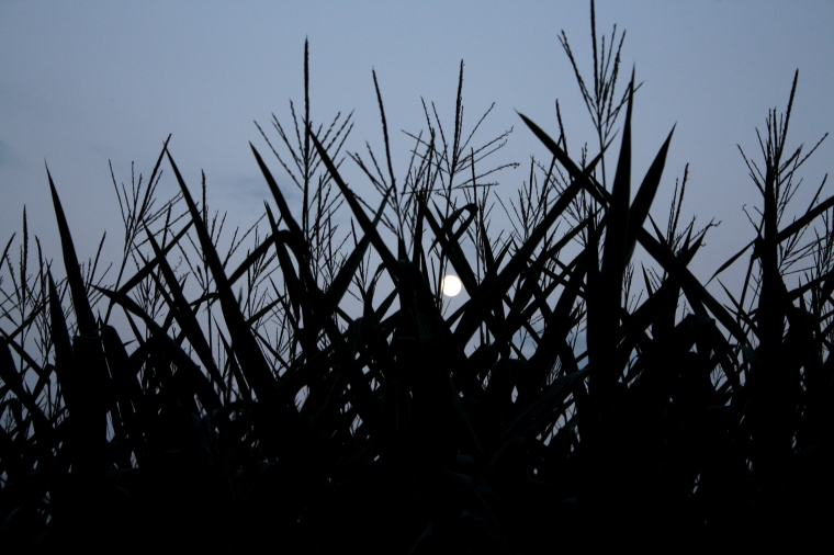 Moon through the corn