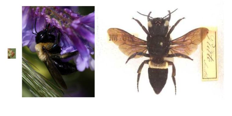 Littttle Perdita minima (left), Eastern Carpenter Bee (middle) and Megachile pluto (right).