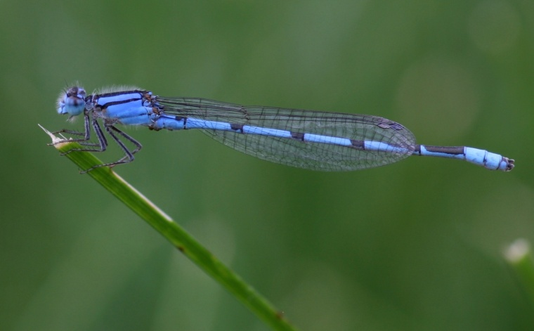 Bluet (Enallagma sp.)