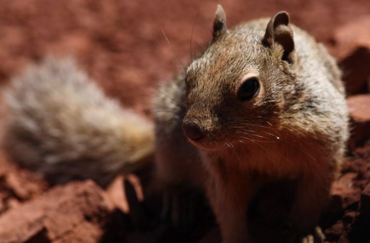 The rock squirrel