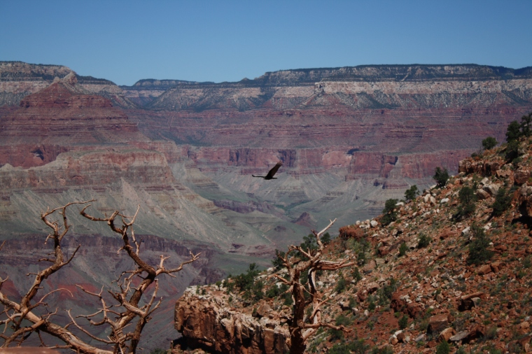 And of course, plenty of Turkey Vultures, each of which I thought was a condor.
