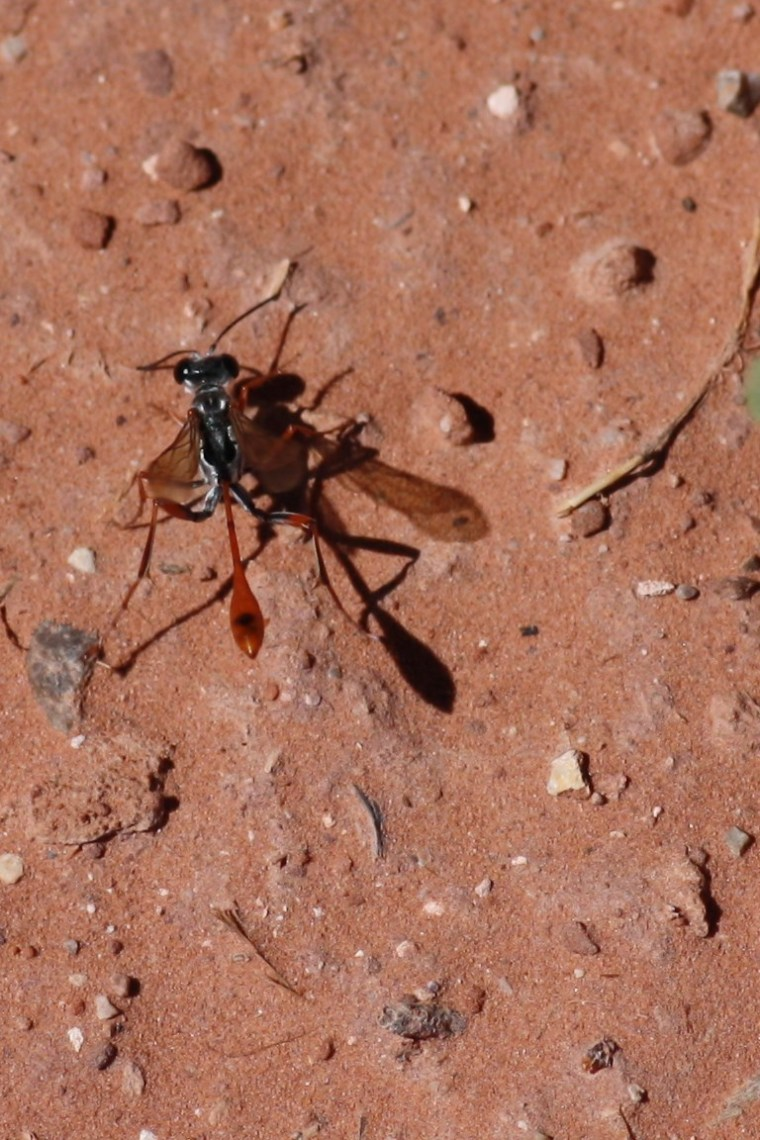 A thread-waisted wasp, maybe a Prionyx?