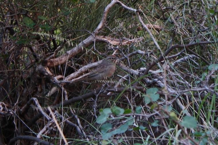 Rufous crowned sparrow (Aimophila ruficeps)