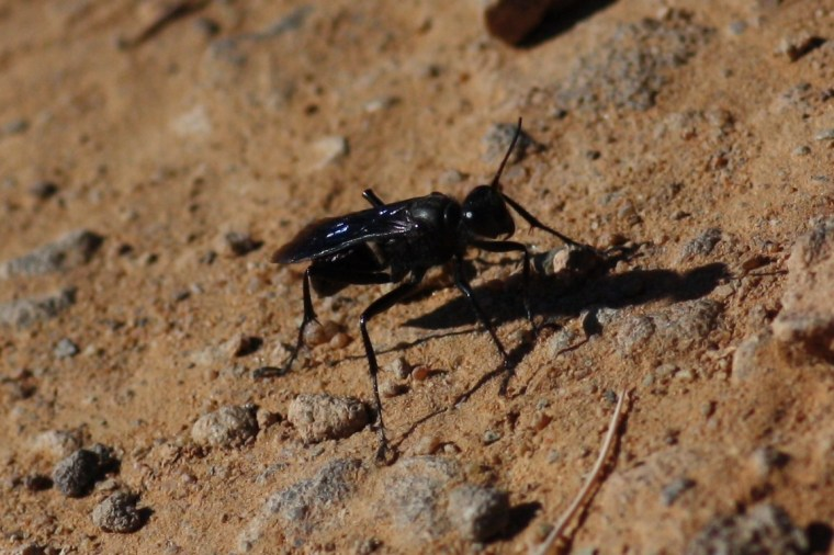 I think a spider wasp (Pompilidae)