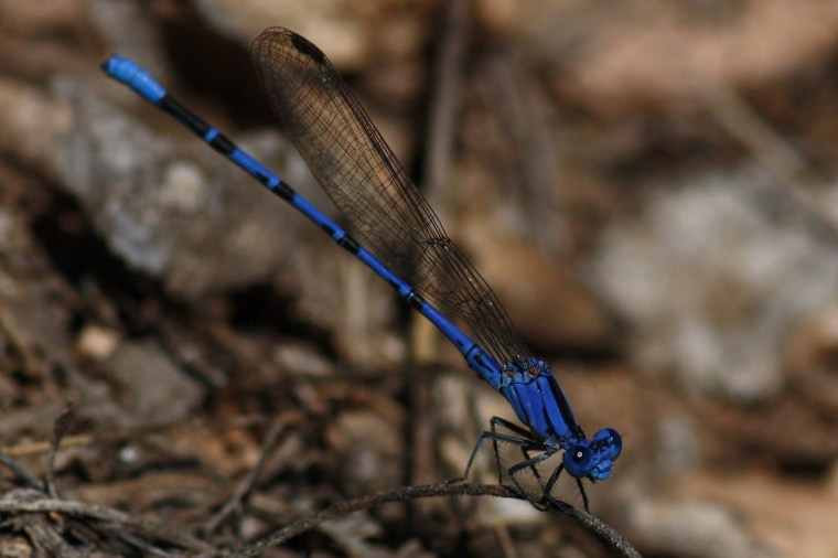 This might actually STILL be the familiar bluet (Enallagma civile) that I photographed in PA