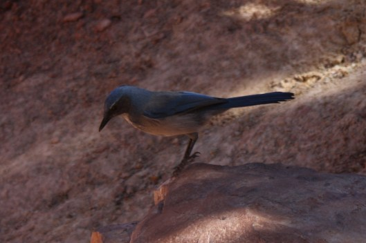 Levitating Pinyon Jay