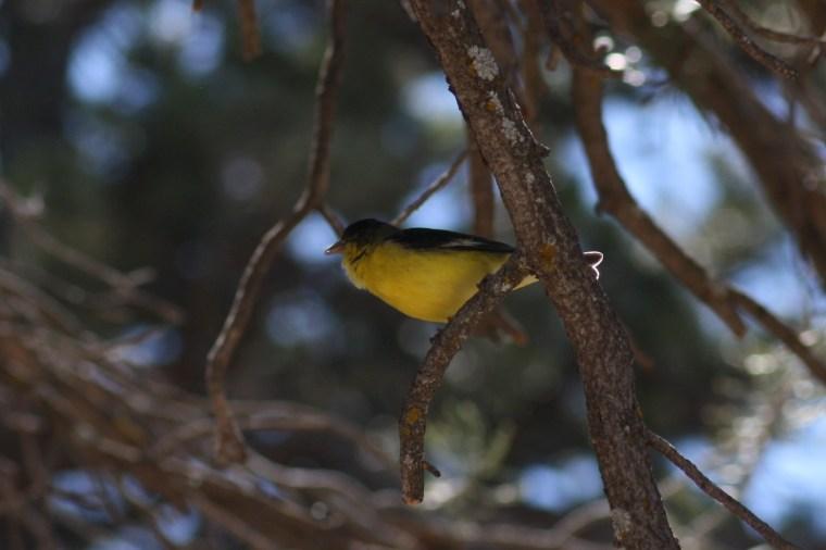 A lesser goldfinch (Spinus psaltria)