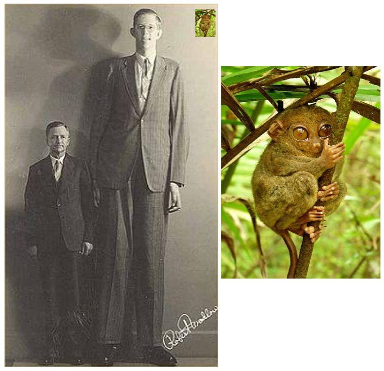 The tallest primate (left photo) with the smallest primate (right photo).  The tiny inset in the upper right hand corner of the left photo is the tarsier to scale against the humans.  Both of these photos are courtesy of wikipedia.org